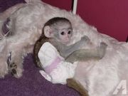 Wonderful Lovely Capuchin monkey for adoption